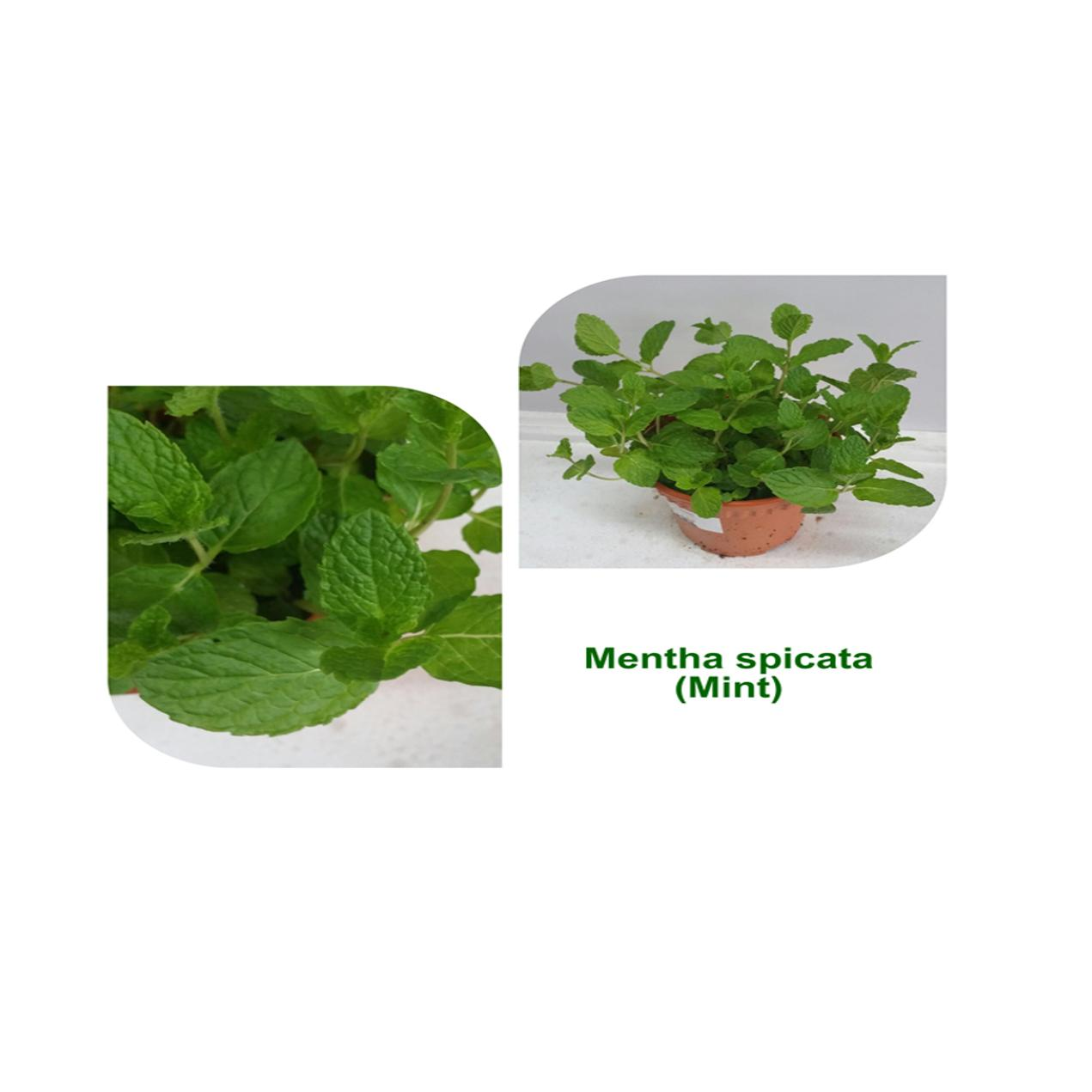 Mint Plant, Potted (Mentha spicata)