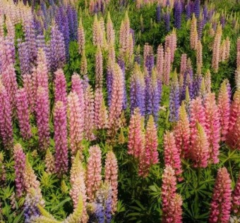 Harga 100 Pieces Mixed Russell Lupine Seeds Lupinus Polyphyllus Flower Seeds - intl