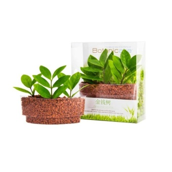 Harga Botanicaire Money Tree Plant Sushi